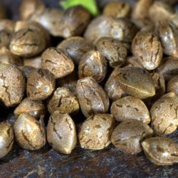 feminized-Marijuana-Seeds